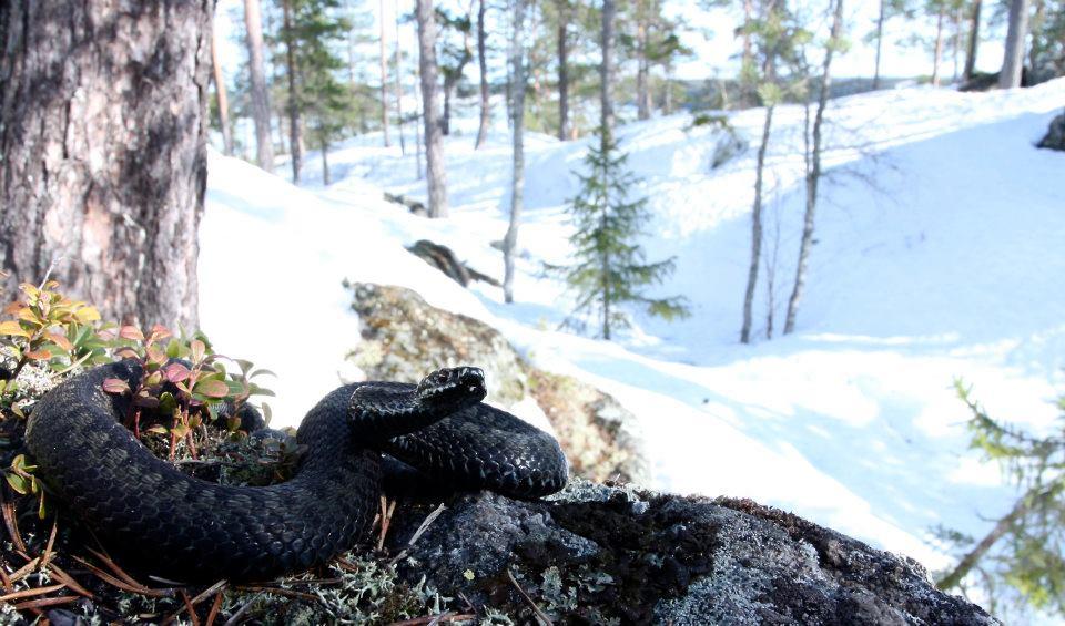 Huggorm på Tavelsjöberget. Jonas Arvidsson